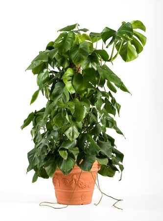 a great looking foliage plant that grows taller than most indoor plants
