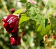 flowering plant abutilon hybridum in portfolio