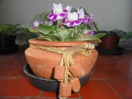 Potted with purple stripes
