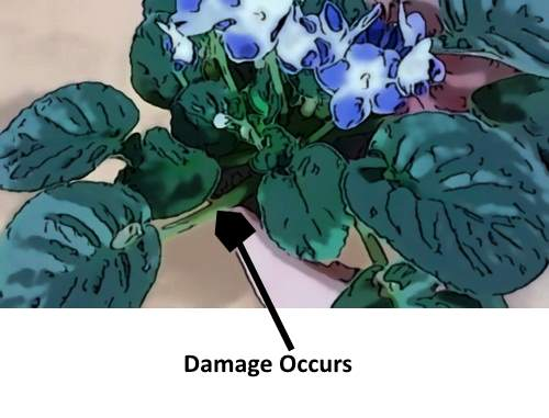 Picture showing African violet needs repotting