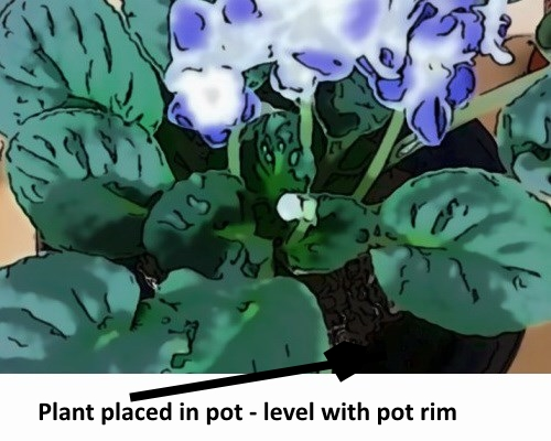 Plant placed in pot level with the rim