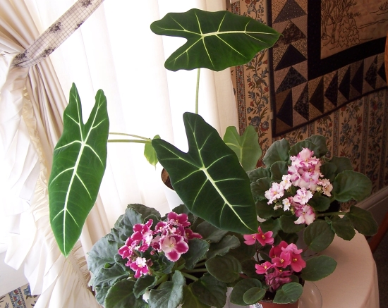 Picture of Alocasia Micholitziana