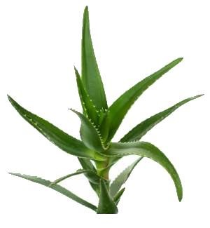 aloe leaves on white background
