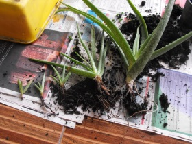 aloe vera plant with offsets