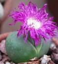 Argyroderma testiculare with purple flower