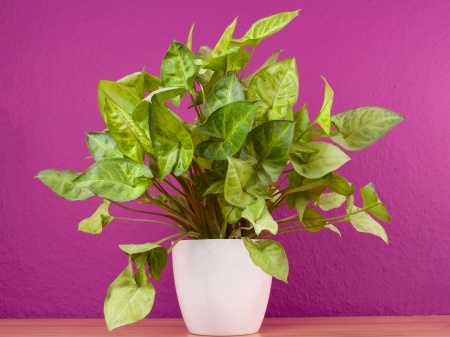 Picture of Arrowhead plant on purple background