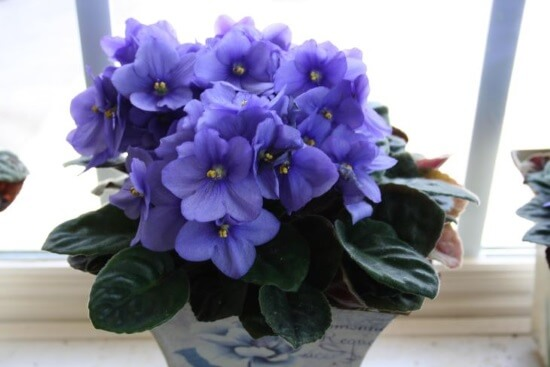 blue flowers - Flowering House Plants Purple