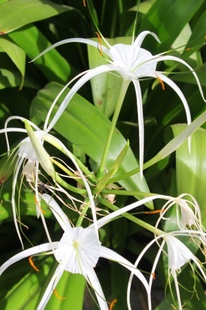 picture of beach spider lily