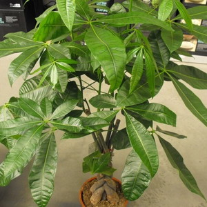 Pachira aquatica braided money tree plant