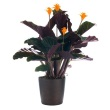 Picture of Eternal flame calathea plant