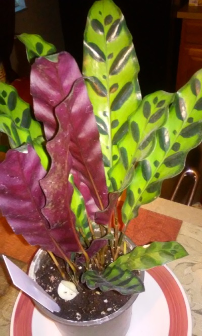 Picture of calathea lancifolia