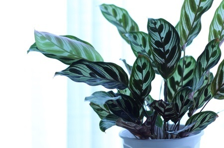 Picture of Calathea Makoyana