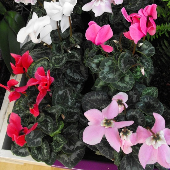 Variety of cyclamens
