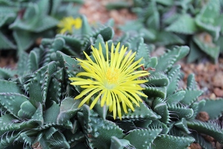 Picture of Faucaria tigrina