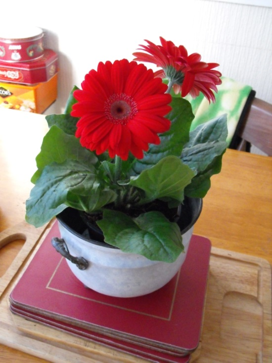 picture of plant on a table barberton daisy a flowering pot plant displaying striking flowers