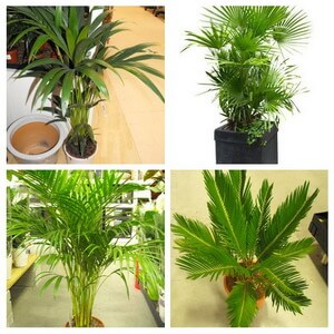 Indoor Palm Plants