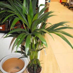 kentia palm plant at garden store