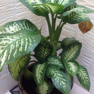 picture of large dumb cane plant