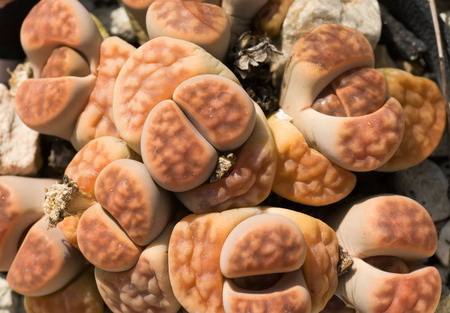 Lithops fulleri picture