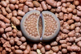 Lithops Pseudotruncatella - Truncate Living Stone Picture