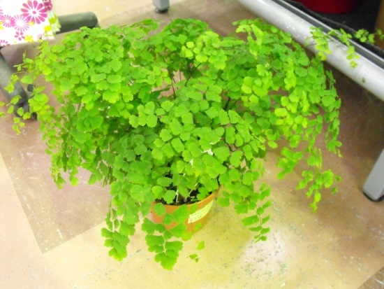 Picture of fern plant