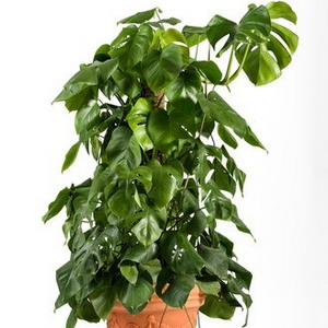 Swiss cheese plant picture