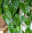 Climbing philodendron with other plants