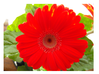 picture of a gerbera daisy flower