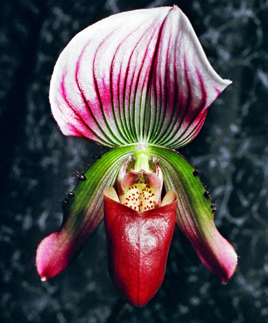 Close up picture of slipper orchid flower with red pouch