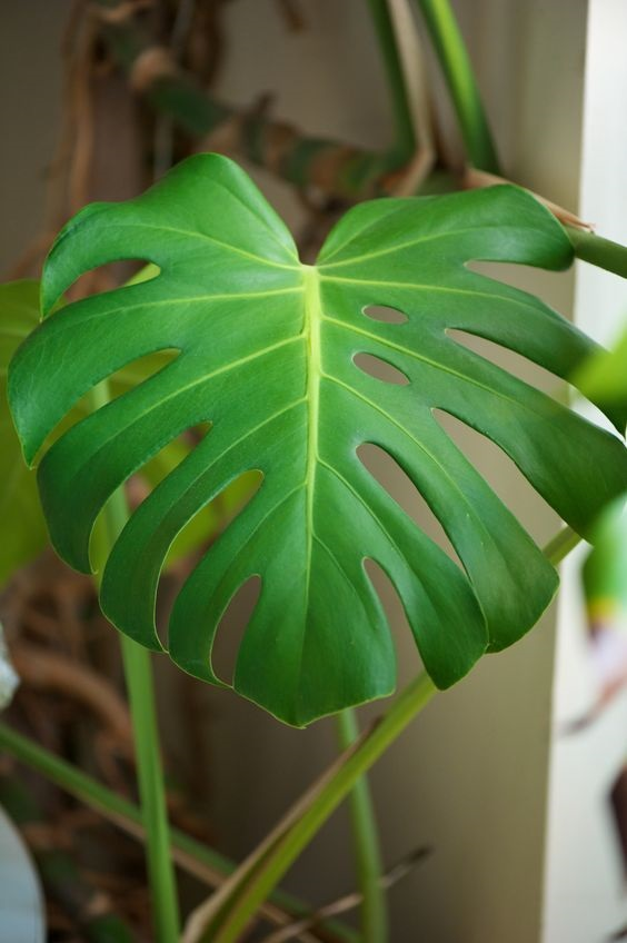 Swiss Cheese Plant Monstera Deliciosa Care