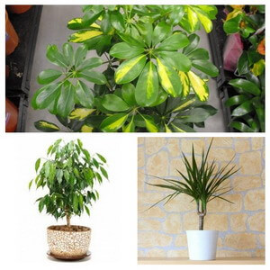 indoor trees - House Plants
