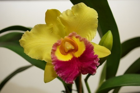 Cattleya Corsage Orchid