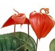 picture of the flamingo flower - Red Flowering House Plants