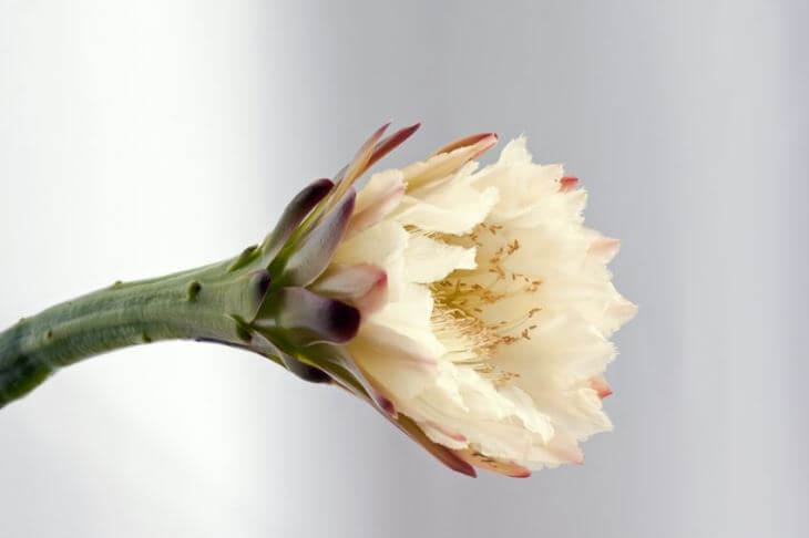 Picture of an Apple cactus Tubular Flower Before Night Opening Up