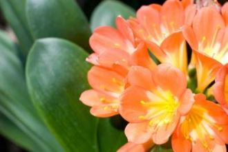 Picture of the clivia miniata plant