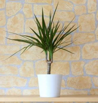 Picture of the Madagascar Dragon Tree