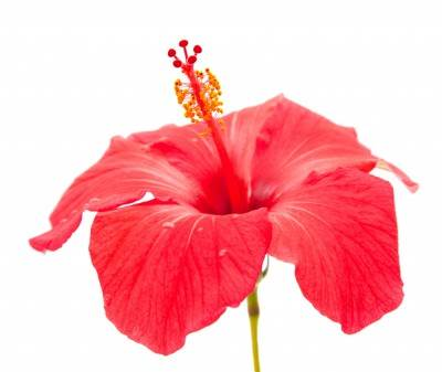 picture of Hibiscus Rosa Sinensis flower