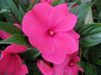 Growing Busy Lizzie Patient Lucy Impatiens Walleriana