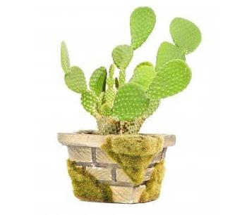 Picture of the Opuntia microdasys