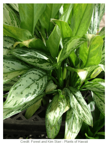 grown primarily for the attractive leathery leaves - House Plant Identification By Leaf