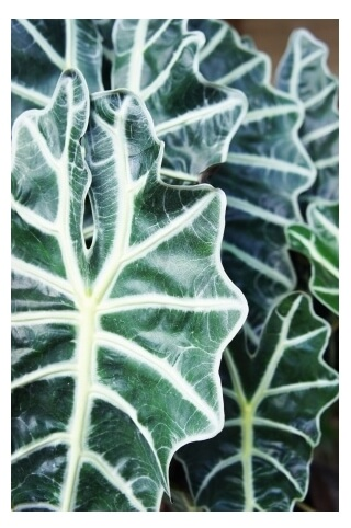 leaves on Alocasia