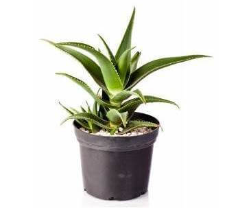 Most Popular Houseplants also How To Care For Succulents And Cacti furthermore Beautiful Indoor Plants Pictures So Can You Your Apartment Decorating together with 32 Great Houseplants Bring Greenery Indoors in addition Y2FjdHVzIGhvdXNlcGxhbnRz. on popular succulent houseplants