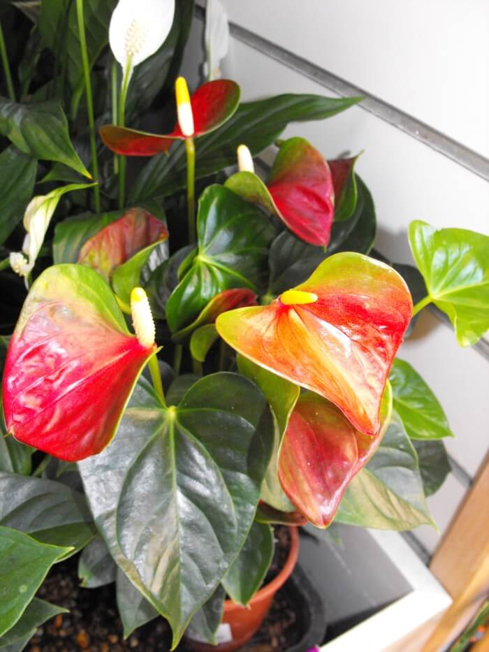 flamingo flower plant