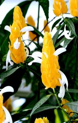 Lollipop Plant Golden Shrimp Pachystachys Lutea