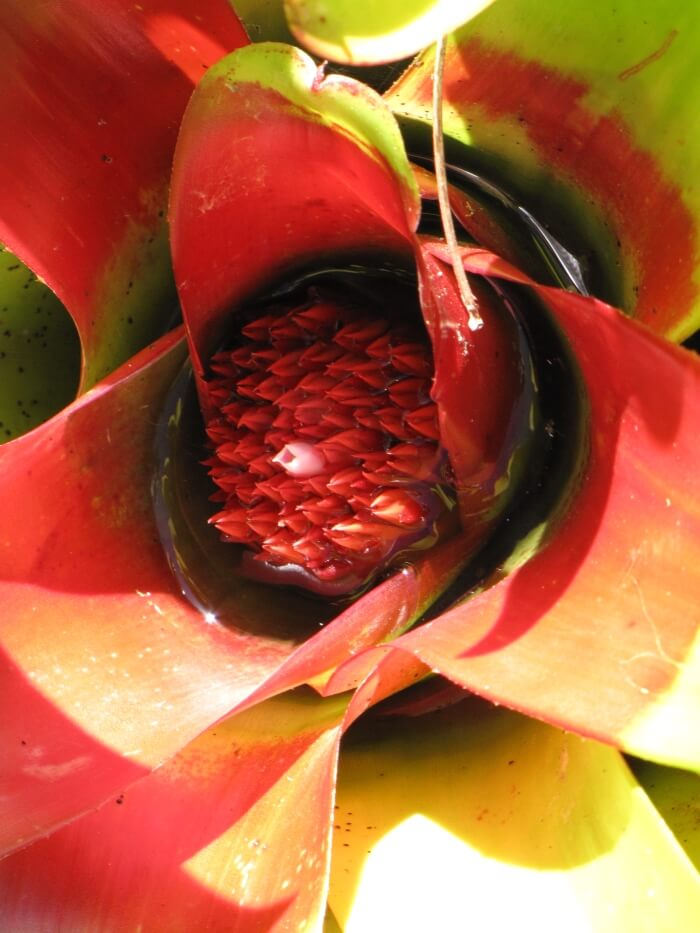 blushing bromeliad picture