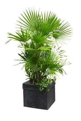 Palm growing well with many fronds