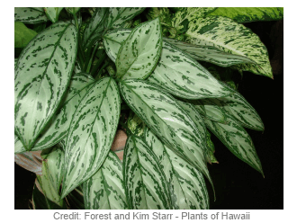 Picture of the Chinese evergreen