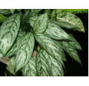 Chinese Evergreen Picture