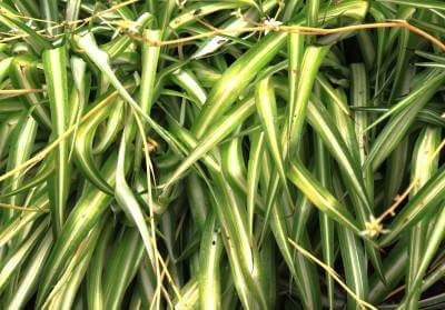 Spider plant chlorophytum comosum for Is spider plant poisonous to dogs
