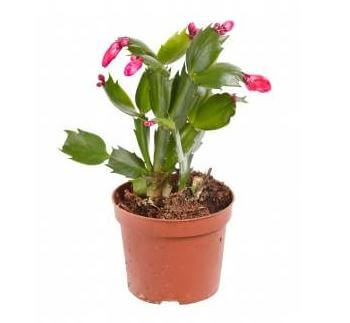 Picture of a potted Christmas cactus